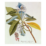 Magnolia Glauca Giclee Print by  German School