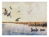 Ducks Landing, 1919 Giclee Print by Louis Agassiz Fuertes