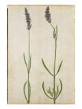 Lavandula Officinalis Giclee Print by Jacques Le Moyne