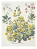 Nasturtiums and Daisies Giclee Print by  German School