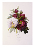Peonies, Engraved by Prevost Giclee Print by P.j. Redoute