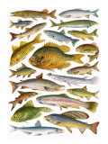 Fresh-Water Fish - Canadian Giclee Print by  English School