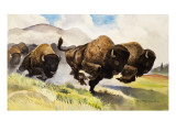 These Buffalo are Bison, 1962 Giclee Print by G. W Backhouse