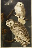 Snowy Owl Gicléedruk van John James Audubon