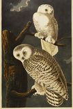Snowy Owl Giclee Print by  Audubon