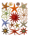 Starfish Giclee Print by English School