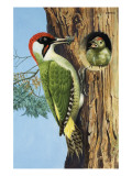 Woodpecker Giclee Print by R. B. Davis
