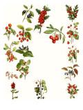 Berries Giclee Print by  English School