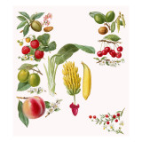 Fruits Giclee Print by  English School