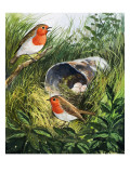 Robins Giclee Print by English School