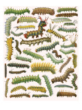 Caterpillars Giclee Print by  English School