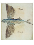 Flying-Fish Giclee Print by John White