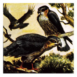 A Cast of Hawks Giclee Print by  English School