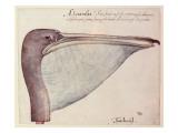 Pelican, C.1590 Giclee Print by John White