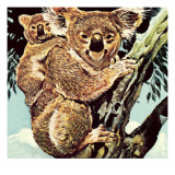 Koala Bear Giclee Print by  English School