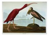 Scarlet Ibis Reproduction procédé giclée par  Audubon