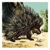 Porcupine Giclee Print by  English School