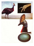 The Cassowary Giclee Print by  English School
