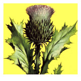 Thistle Giclee Print by English School