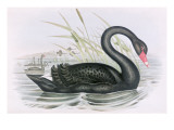 The Black Swan Giclee Print by John Gould