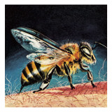 Bee Stinging Giclee Print by  English School