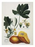 Papaya Giclee Print by Georg Dionysius Ehret