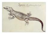 Iguana Giclee Print by John White