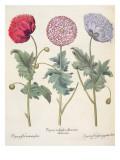 Poppies Giclee Print by  German School