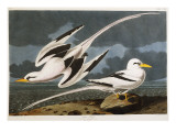 Tropic Bird Giclee Print by John James Audubon
