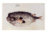 A Burrfish Giclee Print by John White