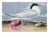 Cayenne Tern Reproduction procédé giclée par  Audubon