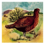 Red Grouse Giclee Print by English School