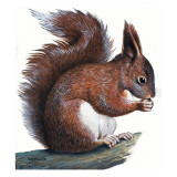 Red Squirrel Giclee Print by R. B. Davis