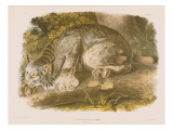 Canada Lynx Giclee Print by John James Audubon