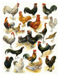Poultry Giclee Print by  English School