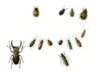 Beetles Giclee Print by  English School