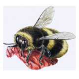 Honey Bee Giclee Print by R. B. Davis