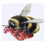 Honey Bee Giclee Print by R. B. Davis