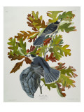 Canada Jay Giclee Print by  Audubon