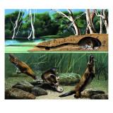 Platypus Giclee Print by David Nockels