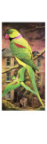 Parakeet Giclee Print by English School