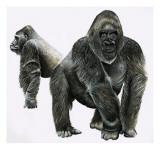 Gorillas Giclee Print by English School