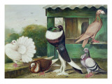 Pouter Pigeons Giclee Print by James E. Bourhill
