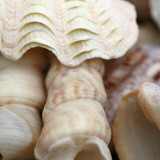 Shells I Prints by Nicole Katano