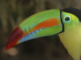Close view of a toucan, Costa Rica, Photographic Print