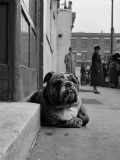 Lazy Bulldog at Camden Town Poster by John Gay