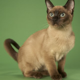 Tonkinese Poster