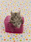 Maine Coon Photographic Print