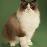Ragdoll Photographic Print