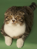 Scottish Fold Photo